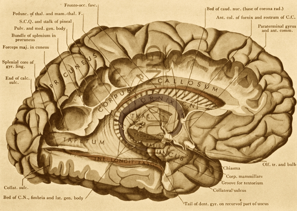 brain-cross-section-diagram-and-vintage-print-of-the-human-brain-cross-section-from-anatomy.jpg