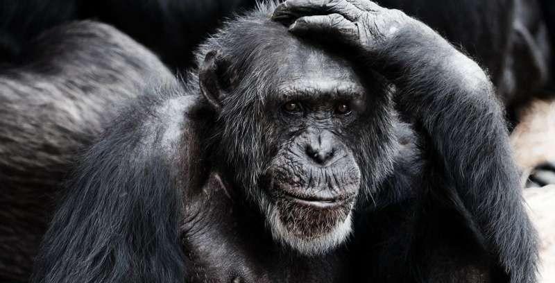 1-chimpanzee